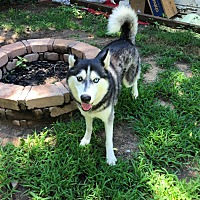 Adopt A Pet :: Sebastian - Manhattan, KS