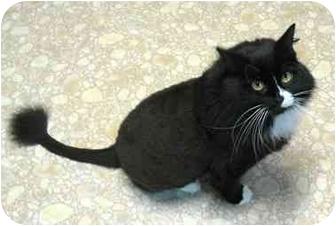 Domestic Longhair Cat for adoption in Plainville, Massachusetts - Alice