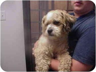 Cockapoo Dog for adoption in Manassas, Virginia - miller