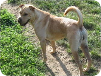Shar Pei/Labrador Retriever Mix Dog for adoption in Newport, Vermont - DeeDee