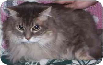 Persian Cat for adoption in Smithville, Tennessee - Kitty