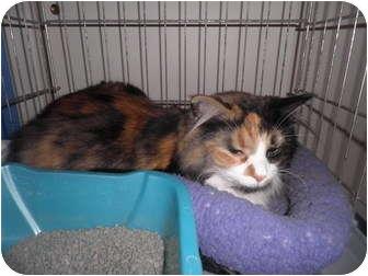 Ragdoll Cat for adoption in Warren, Michigan - Sasha