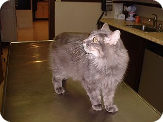 Manx Cat for adoption in Sterling, Kansas - Gracie
