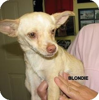 Chihuahua Dog for adoption in Jacksonville, Florida - Blondie