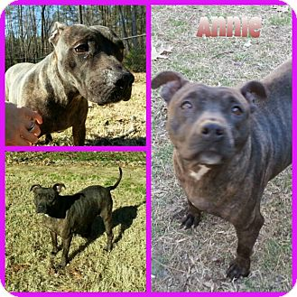 American Pit Bull Terrier Dog for adoption in Louisburg, North Carolina - Annie