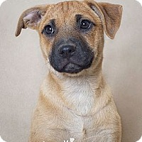 Adopt A Pet :: Adley - Phoenix, AZ