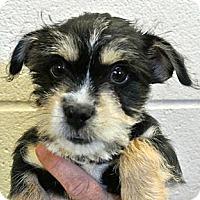 Adopt A Pet :: Blue - white settlment, TX