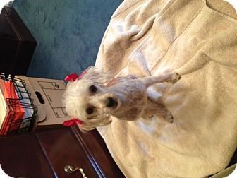 Miniature Poodle Mix Dog for adoption in Brownsville, Texas - Butterscotch