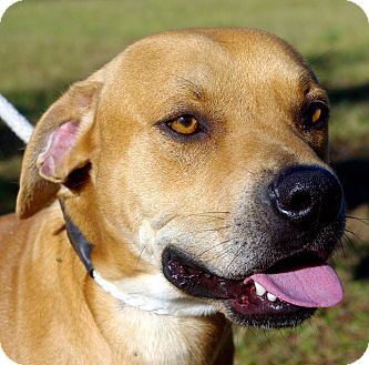 Pit Bull Terrier Mix Dog for adoption in Daytona Beach, Florida - Curry