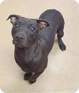 Pit Bull Terrier Mix Dog for adoption in Las Vegas, Nevada - Helen -Pocket Pit