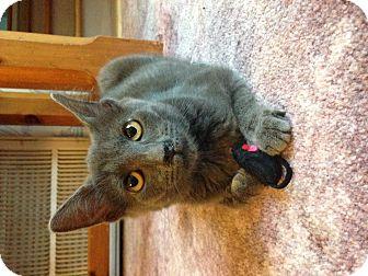 Russian Blue Cat for adoption in Marietta, Georgia - Ripley