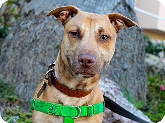 Labrador Retriever/Corgi Mix Dog for adoption in Los Angeles, California - Hustler - Cat Friendly