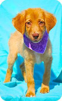 Golden Retriever/Australian Shepherd Mix Puppy for adoption in Pawleys Island, South Carolina - Anna