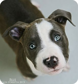 Pit Bull Terrier Puppy for adoption in Portland, Oregon - Blue