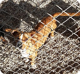 Dachshund/Terrier (Unknown Type, Small) Mix Dog for adoption in Lubbock, Texas - Nancy