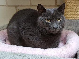 Domestic Shorthair Cat for adoption in Lago Vista, Texas - Quinn