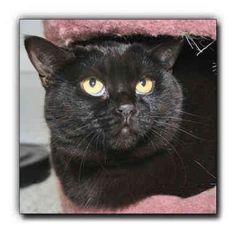 Domestic Shorthair Cat for adoption in Howell, Michigan - Sissy