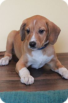 Beagle Mix Puppy for adoption in Waldorf, Maryland - Han Solo