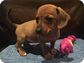 Dachshund/Beagle Mix Puppy for adoption in Gallatin, Tennessee - Ariel