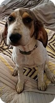 English (Redtick) Coonhound Mix Puppy for adoption in Mesa, Arizona - EDNA 8 MO ENGLISH COONHOUND