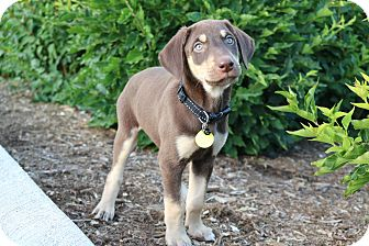 Doberman Pinscher Mix Puppy for adoption in Warrenville, Illinois - Rollins