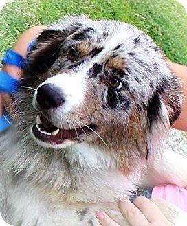 Australian Shepherd Puppy for adoption in Oswego, Illinois - Loden