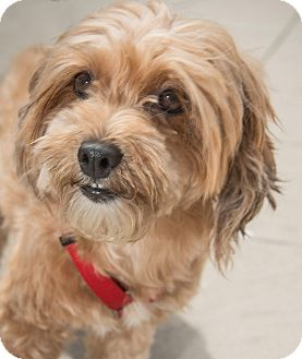 Havanese Mix Dog for adoption in New York, New York - Penny