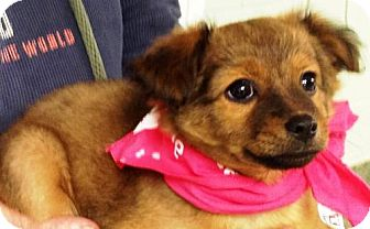 Collie Mix Puppy for adoption in Ada, Oklahoma - GERTRUDE