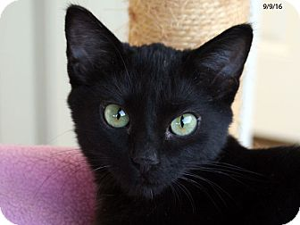 Domestic Shorthair Kitten for adoption in Republic, Washington - Bubba