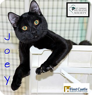 Domestic Shorthair Kitten for adoption in Covington, Louisiana - Joey