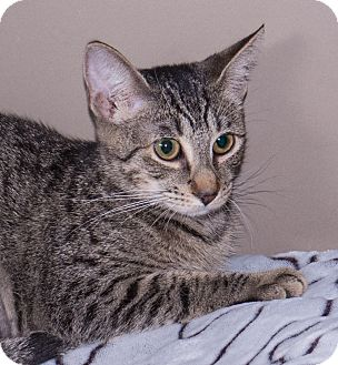 Domestic Shorthair Cat for adoption in Elmwood Park, New Jersey - Abibail