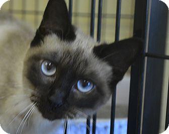 Siamese Cat for adoption in Winchester, Kentucky - Tasha