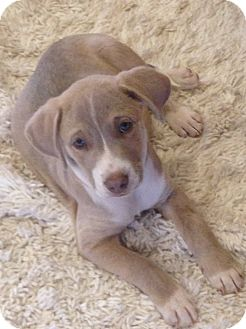 Labrador Retriever Mix Puppy for adoption in Washington DC, D.C. - Ridge