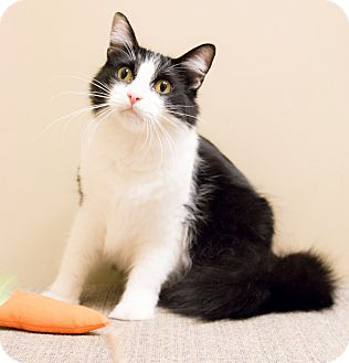 Domestic Longhair Cat for adoption in Chicago, Illinois - Merlin