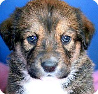 "Labrador Retriever/Australian Shepherd Mix Puppy for adoption in Wakefield, Rhode Island - PETALS(OUR ""SPICE"" PUPPY!!)"