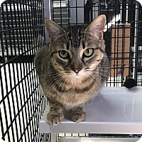 Domestic Shorthair Cat for adoption in Stockton, California - Bambi