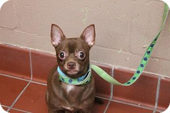 Chihuahua Mix Dog for adoption in Daytona Beach, Florida - Hershey