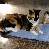 Calico Cat for adoption in Mexia, Texas - Fifty