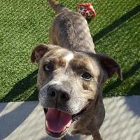 Adopt A Pet :: Dixon - Land O'Lakes, FL