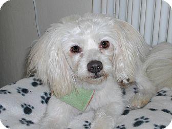 Maltese/Poodle (Miniature) Mix Dog for adoption in Newell, Iowa - Dewey