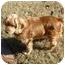 Photo 2 - Cocker Spaniel Dog for adoption in Macon, Georgia - Archie