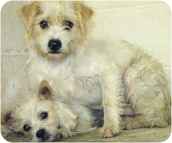 Cairn Terrier Mix Dog for adoption in Ripley, Tennessee - Yogi & Boo Boo (1065 & 64)