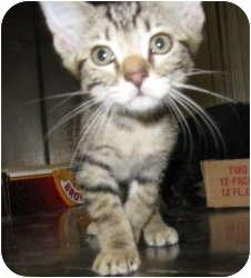 Domestic Shorthair Kitten for adoption in Stillwater, Oklahoma - Rascal