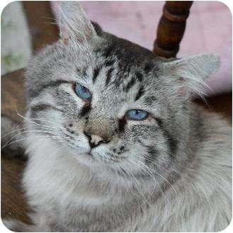 Siamese Cat for adoption in Denver, Colorado - Oscar
