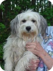 Lhasa Apso/Yorkie, Yorkshire Terrier Mix Dog for adoption in Baltimore, Maryland - Kandi