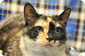 Siamese Cat for adoption in Foothill Ranch, California - Pixie