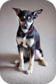 Shiba Inu Mix Dog for adoption in Okotoks, Alberta - Lady