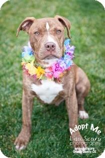 American Pit Bull Terrier Mix Puppy for adoption in Tustin, California - Slug