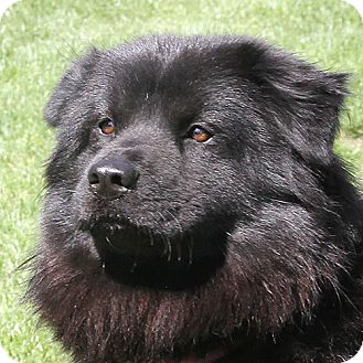 Chow Chow/Papillon Mix Dog for adoption in Sacramento, California - Embry