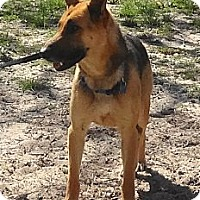 German Shepherd Dog Dog for adoption in SAN ANTONIO, Texas - CESAR / CLEO